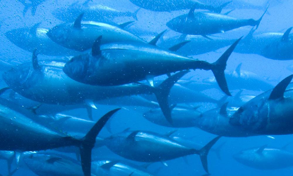 ¿Pescado azul o blanco?